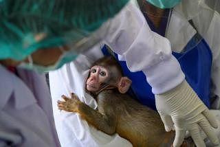 தாய்லாந்தில் உள்ள தேசிய குரங்குகள் ஆய்வு நிலையத்தில் புதிய தடுப்பு மருந்து பரிசோதனைக்காக, முதல் கட்டமாக 13 குரங்குகளுக்கு செலுத்தப்பட்டதை மருத்துவர் சுசிந்தா மலைவிடிஜ்னோன்ட் மேற்பார்வையிட்டார்.படம்: ஏஎஃப்பி